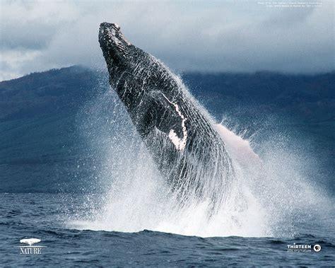 humpback whale desktop wallpaper wallpapersafari