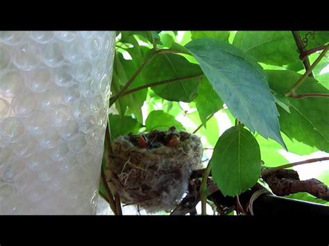cardellini in gabbia nido di cardellini sulla vite americana giorno 21