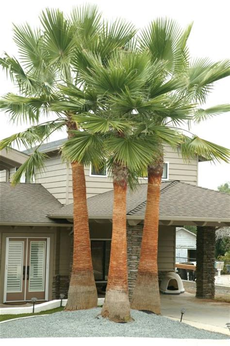 mexican fan palm care new gallery 3 washingtonia robusta newly cleaned2 large
