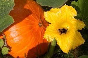 Pumpkin Flower - Landscape  U0026 Rural Photos