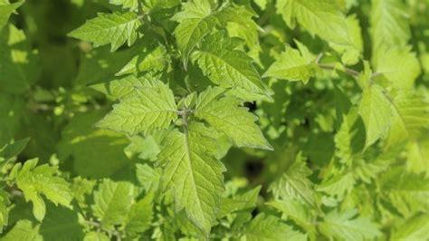 Ameisen Vertreiben Mit Tomatenblättern  Frag Mutti