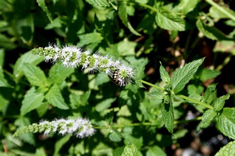 enjoy growing mint   trouble mississippi state