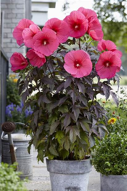 Hibiscus Passion Moscheutos Carousel Carrousel Appeltern Globeplanter