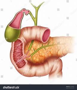 Illustration Pancreas Duodenum Gallbladder Stock