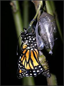 Monarch  Danaus Plexippus  Emerging From Chrysalis