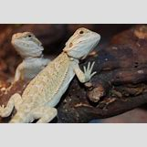 Leucistic Bearded Dragon | 450 x 302 jpeg 22kB