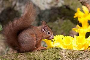Brownsea Island: Red squirrels have human leprosy strain  Red