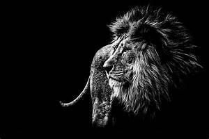Royalty Free Black And White Lion Pictures, Images and ...