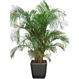 areca plante naturelle stabilis 233 e sans entretien sans eau sans terre sans lumi 232 re