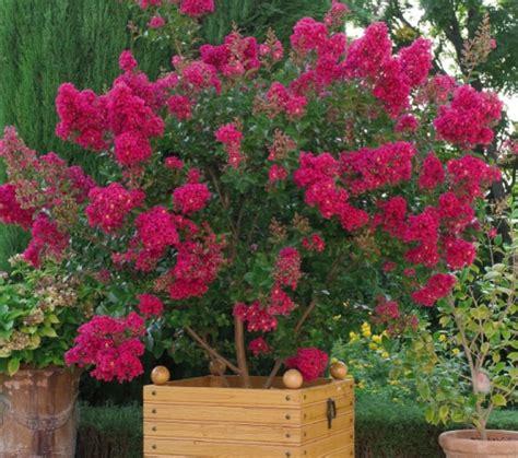 lila des indes terrasse jardinage solene loup photos