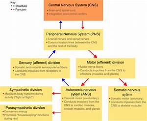 Fundamentals Of Neuroscience  Classification Of The Nervous