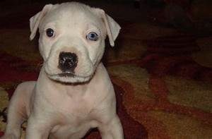 Pics For > White And Blue Pitbull Puppies