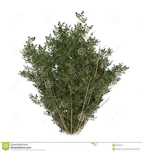 plant bush isolated stock image image 36296141