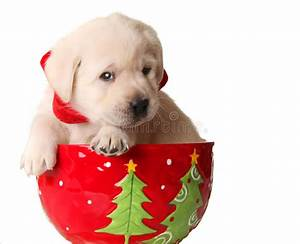 Christmas puppy stock image. Image of cute, doggy, canine ...