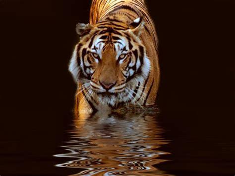 Tigres Para Tu Fondo De Pantalla [hd]