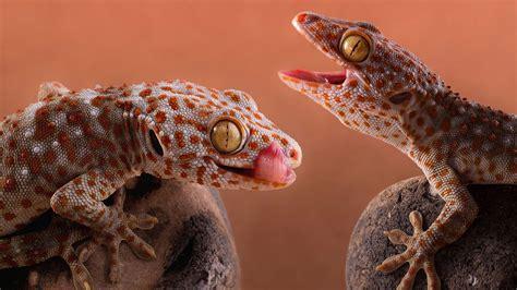 animal gecko australian species  lizard desktop