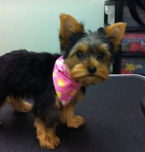 30 best images about yorkie grooming on Pinterest ...