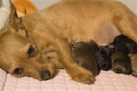 Welpengeburt  Was eine Hündin jetzt braucht ⋆ Hunde