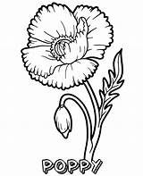 Coloring Poppy Blooming Flower Flowers sketch template