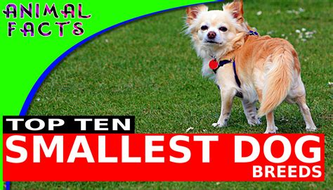 Top 10 Smallest Dog Breeds – Animal Facts