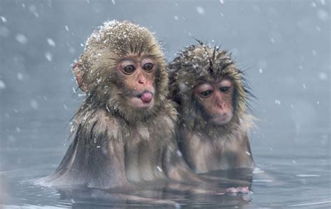 Cute Macaque Monkeys Enjoy The Hot Springs In Snowy Conditions In Japan Metro News