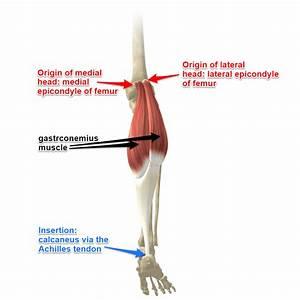 Gastrocnemius Muscles