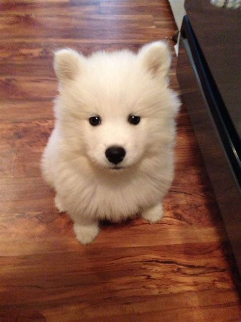 48 Best Images About American Eskimo Dogs On Pinterest