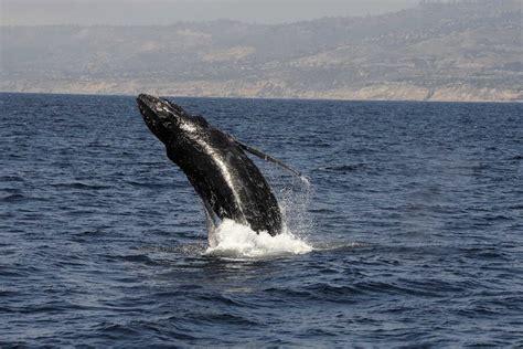 humpback whales   altruistic mammals csmonitorcom