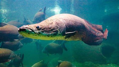 gambar ikan arapaima gigas terbesar berbahaya  makan