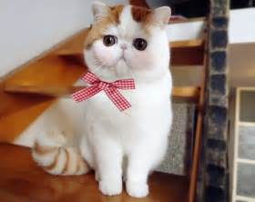 flat faced cat for in china the most popular cat is an adorable flat faced