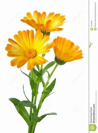 Calendula Flowers Three Dreamstime Royalty