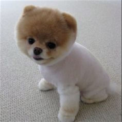 boo on pinterest boo the cutest dog cutest dogs and