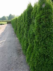 Thuja Smaragd Düngen : lebensbaum 39 smaragd 39 thuja occidentalis 39 smaragd ~ Michelbontemps.com Haus und Dekorationen
