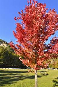 Autumn Blaze Maple Problems That are Not Comforting to the ...  Maple