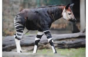 Cute Baby Okapi