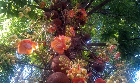 kailashpati cannon ball tree plant plantslive buy