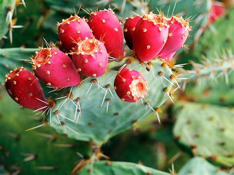 cactus pear prickly pear description uses species britannica com