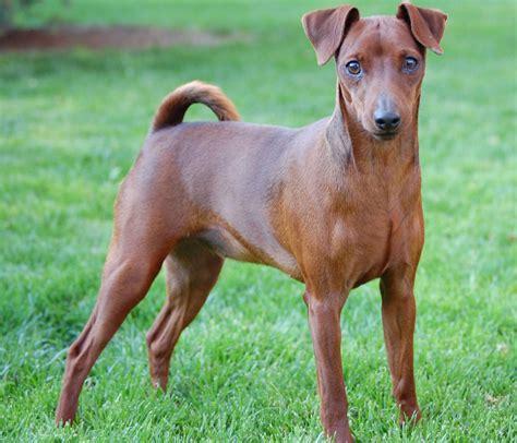 pinscher miniatura razas perros mascotas