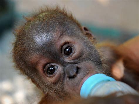 cuisine trop 60 photos de singes certains plus mignons que d 39 autres