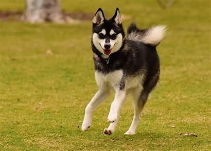 Klee Kai Alaskan Dog Breed Husky Breeds