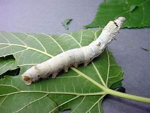 Genetically Eng... Silkworm