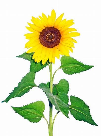 Flowers Cut Flower Sunflowers Plants Growing Market