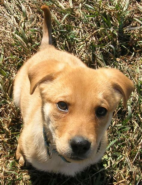 Best Lab Shepherd Mix Ideas And Images On Bing Find What You Ll Love
