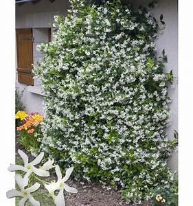 Plantes Grimpantes Pot Pour Terrasse : jasmin etoile de virginie plante en ligne ~ Premium-room.com Idées de Décoration