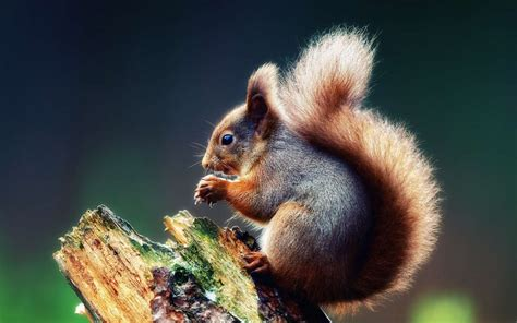 Animals Wallpapers For Mobile Free - mobile wallpaper animals squirrel free 41230