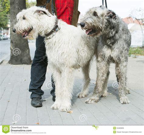 giant schnauzer dogs stock image image  front