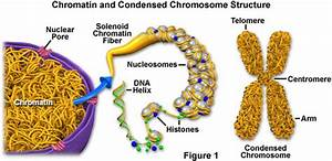 Diagram Of Chromatin : molecular expressions cell biology chromatin and chromosomes ~ A.2002-acura-tl-radio.info Haus und Dekorationen
