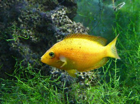 file etroplus maculatus pierrefitte nestalas aquarium jpg wikimedia commons