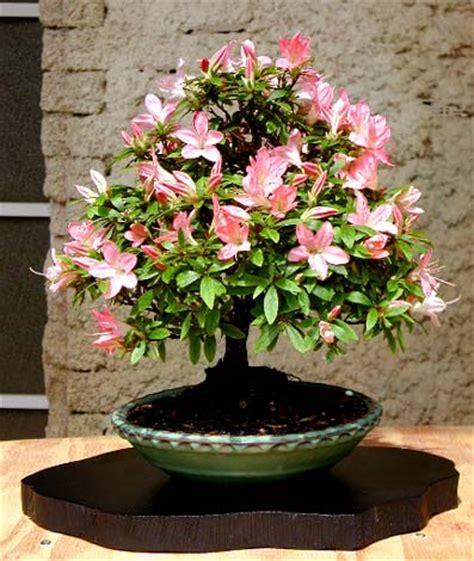 rhododendron en pot en hiver rhododendron indicum parlons bonsai