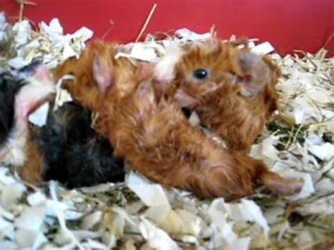 baby guinea pigs  hour  youtube